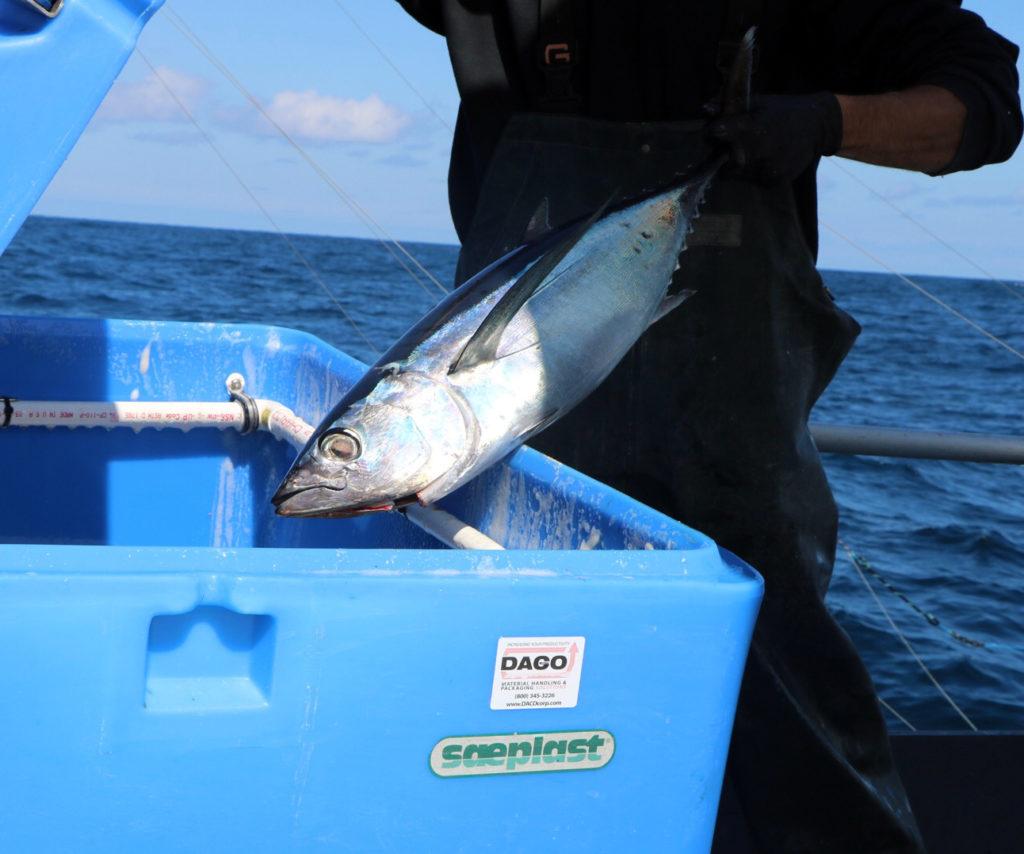 Freshly caught Albacore Tuna